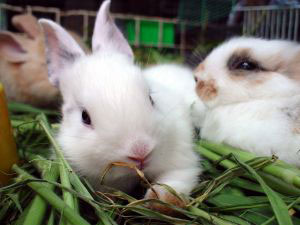 Pet Rabbits