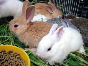 Small Pet Rabbits